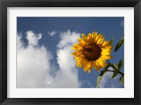 Framed Sunflower field in Loire Valley France
