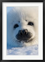 Framed Harp Seal Pup, Canada