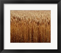 Framed Field of Wheat, France