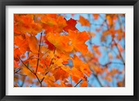 Framed Colorful Maple Leaf Trees