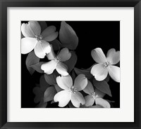 Framed Dogwood (black & white)