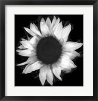 Framed Sunflower 1