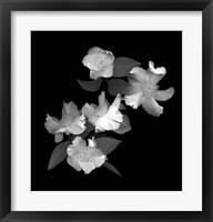 Framed White & Pink Camellia