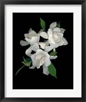 Framed Gardenias 2