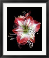 Framed Winter Amaryllis