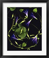 Framed Morning Glory