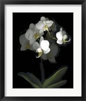Framed Mini White Orchids