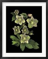 Framed Lenten Rose