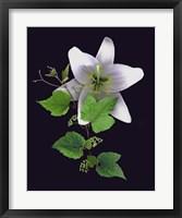 Framed White Lily