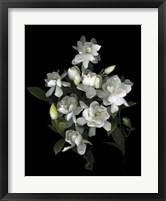 Framed Gardenia '06