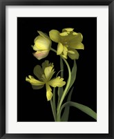 Framed Yellow Dutch Tulip 1