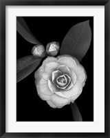 Framed Camellia with Buds