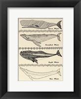 Framed Scrimshaw Whale