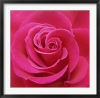 Framed Pink Rose