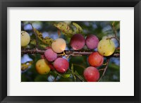 Framed Shades Of Nature Fruits On Tree