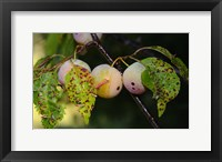 Framed Shades Of Nature Fruits And Critters