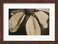 Framed Black And White Flower With Dew