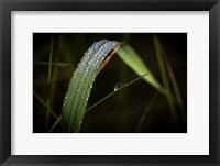 Framed Grass Blade Covered With Dew