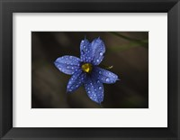 Framed Blue Wildflower With Dew