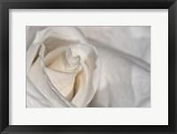Framed White Rose Closeup