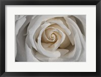 Framed White Rose Petals Closeup