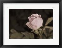Pink Flower Closeup II Framed Print