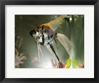 Framed Angel Fish XIII