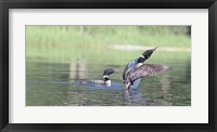 Framed Common Loon 3