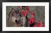Framed Autumn Wolf