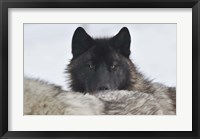 Framed Zoo Wolf 8