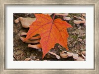 Framed Fallen Red Leaf