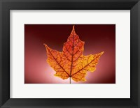 Framed Red Fall Leaf On Red Background