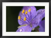 Purple And Yellow Flower After Rain I Framed Print