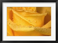 Framed Yellow Rose And Dew Closeup