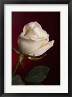Framed White Rose On Red