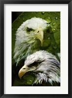 Framed American Bald Eagle III