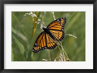 Framed Orange And Black Butterfly In Greenery