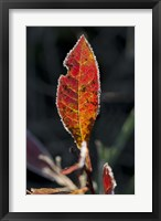 Framed Red Fall Leaf Closeup