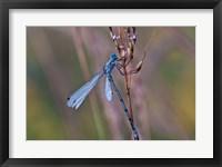 Framed Blue Dragonfly On Stem