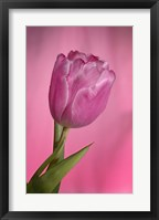 Framed Pink Tulip On Pink