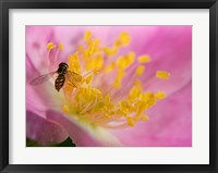 Framed Bee On Pink And Yellow Flower