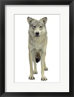 Framed Wolf On White
