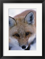 Framed Red Fox And Winter Frost