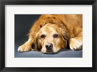 Framed Resting Retriever