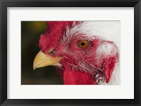 Framed Red And White Rooster Closeup