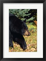 Framed Black Bear Stroll
