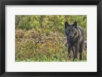 Framed Black Wolf In The Brush