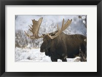 Framed Moose In Snow