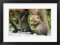 Framed Wolf Cub Solo