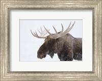 Framed Brown Moose White Antlers
